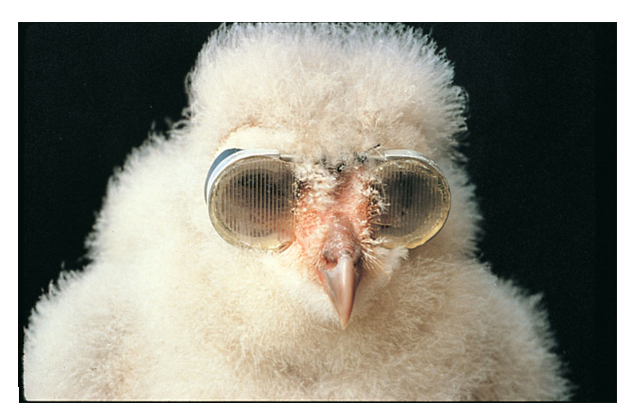 Photograph of an owl chick with goggles over its eyes.
