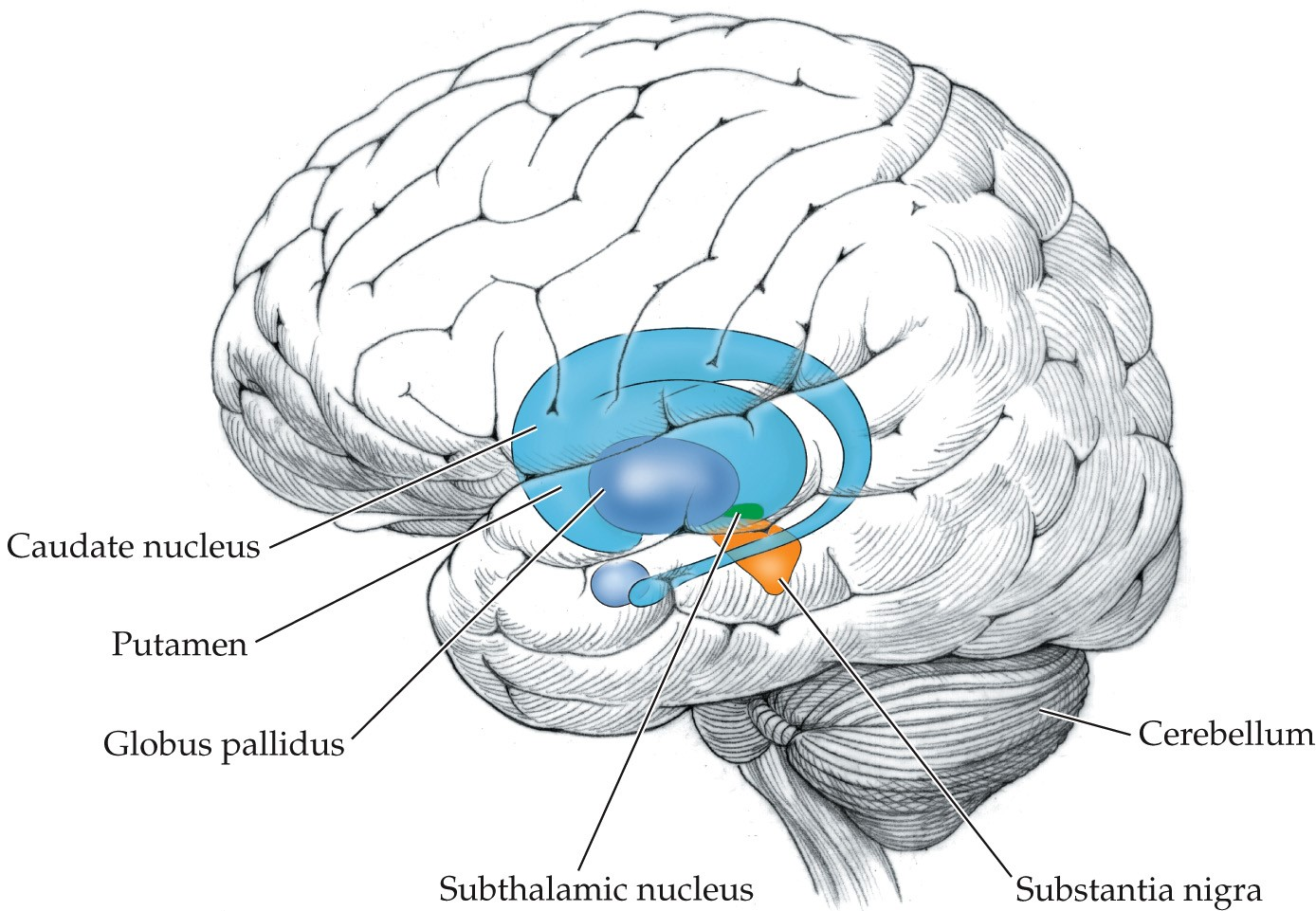 The subcortical systems involved in movement are the caudate nucleus in front, the putamen behind the caudate nucleus, the globus pallidus behind the putamen, the subthalamic nucleus behind the globus pallidus, the substantia nigra behind the subthalamic nucleus, and the cerebellum behind the substantia nigra.