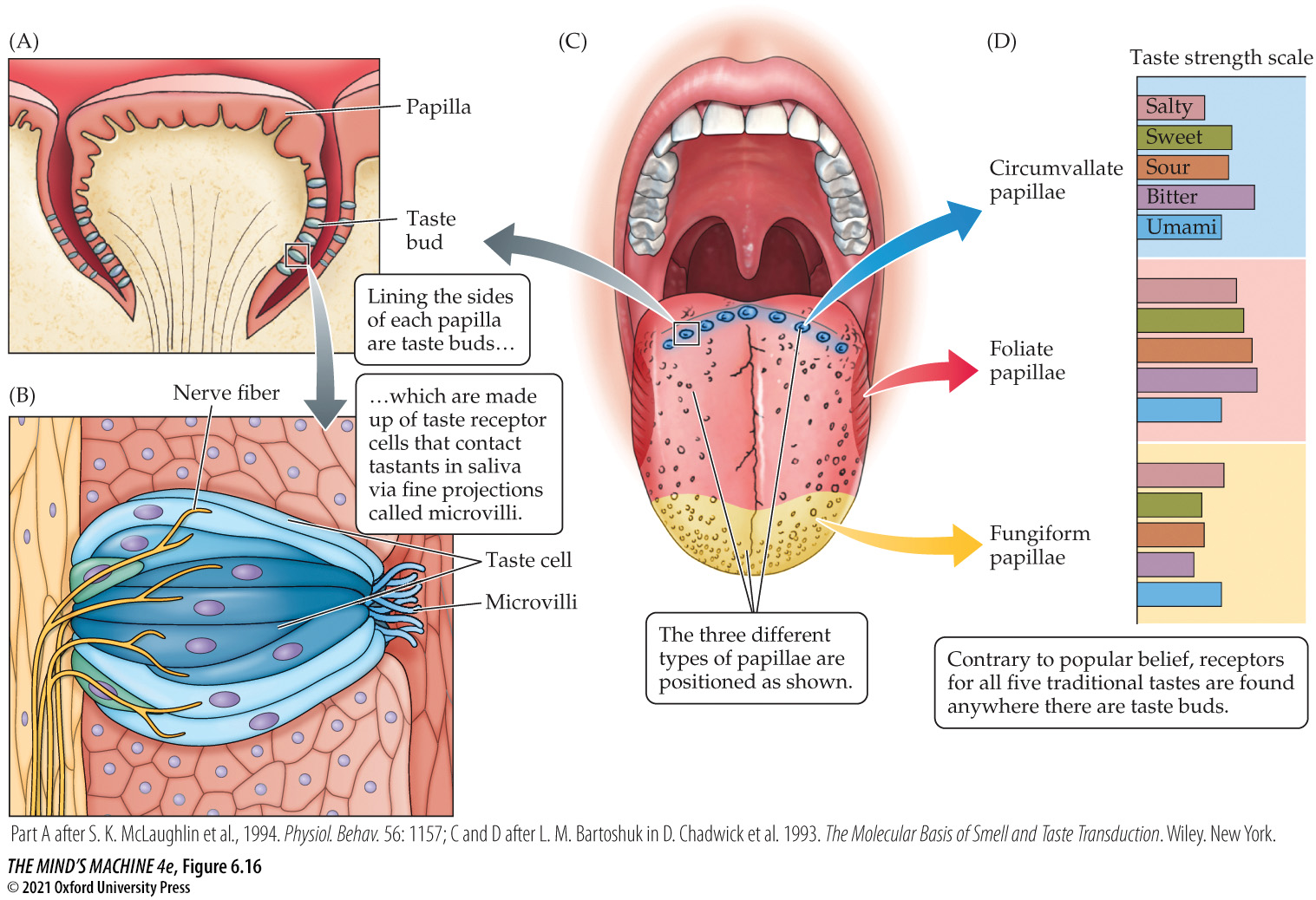The tongue shows taste buds and taste receptor cells. (A). Papilla and taste bud. (B) Nerve fiber, taste pore, and microvilli. Lining the sides of each papilla are taste buds which are made up of taste receptor cells that contact tastants in saliva via fine projections called microvilli. The three different types of papillae are circumvallate, foliate papillae, and fungiform papillae.