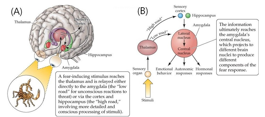 A fear-inducing stimulus reaches the thalamus and is relayed either directly to the amygdala, the low road for unconscious reactions to threat, or via the cortex and hippocampus, the high road, involving more detailed and conscious processing of stimuli. The information ultimately reaches the amygdala's central nucleus, which projects to different brain nuclei to produce different components of the fear response.